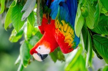 Red Parrot Scarlet Macaw, Ara Macaw In The Jungle Of Peru, Large Beautiful Colorful