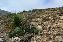 Opuntia Cacti And Other Desert Plants In The Mountains Landscape In New Mexico, USA