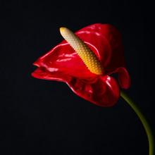 Red Anthurium Flower On A Black Background