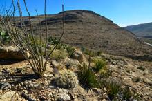 Cacti (Echinocereus Sp.) And O...