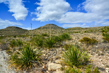 Agave, Yucca, Cacti And Desert...