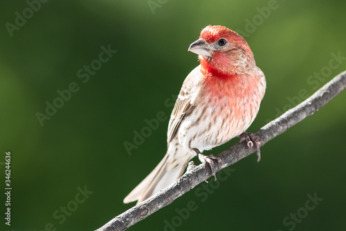 Curious House Finch Perched in a Tree Fototapeta