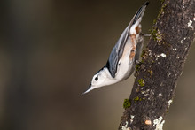 White-Breasted Nuthatch Perche...