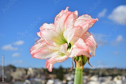 Photo Amaryllis Aphrodite in full bloom, successful roof gardening