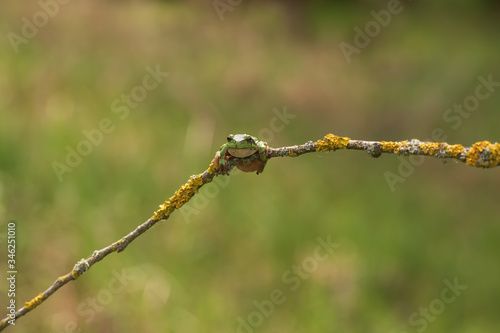 Hyla arborea - Green Tree Frog on a branch and on a reed by a pond Canvas Print