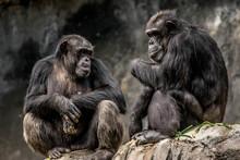 Gorilla Sitting On Rock