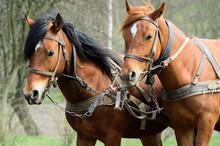 Harnessed Horses Outdoor. Rura...