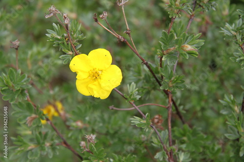 Golden yellow cinquefoils potentilla flower Fototapet