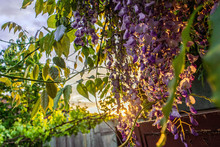 Wisteria Flower In The Garden