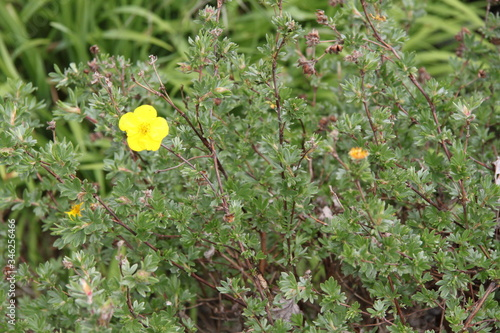 Golden yellow cinquefoils potentilla flower Billede på lærred