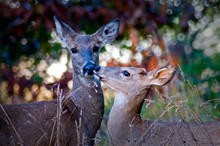 A Whitetail Deer Yearling Touc...