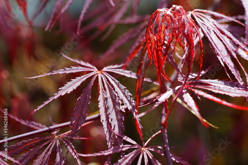Red foliage of the weeping Laceleaf Japanese Maple tree (Acer palmatum) Canvas Print