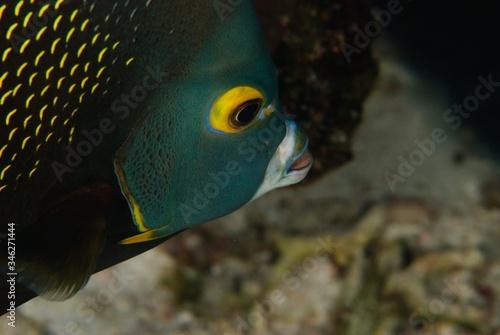 Photo angelfish