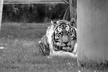 Portrait Of Siberian Tiger Resting On Grassy Field
