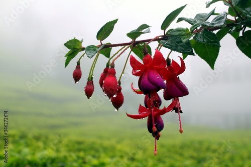 Wet Fuchsias Growing Against Field Fototapeta