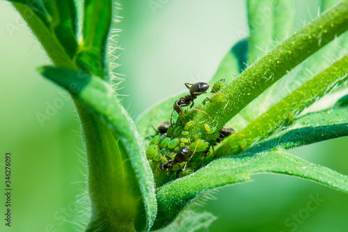 Ants taking care of greenfly that feed on a plant Wallpaper Mural