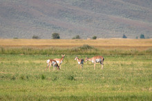 Pronghorn Antelope Does And Fa...