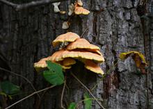 Laetiporus Sulphureus, Or Oran...