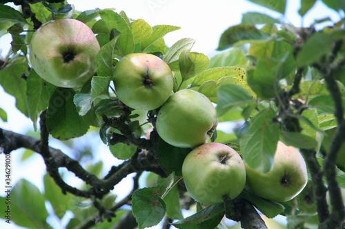 Apfel, Apfelbaum, Baum, Obst, Herbst, Frucht, Blätter Canvas Print
