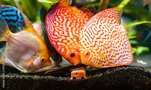 Colorful fish from the spieces Symphysodon discus and angelfish in aquarium feeding on meat Canvas Print