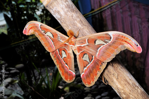 Attacus atlas, the Atlas moth, is a large saturniid moth endemic to the forests of Asia Canvas Print