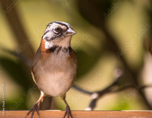 Photo Close up da ave tico-tico - (Zonotrichia capensis)