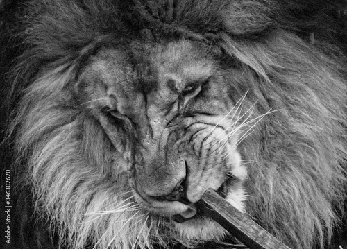 Canvas Print Close-up Of Lion Licking Wood