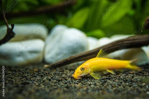 Foto Yellow chinese algaey eater - Gyrinocheilus in aquariun
