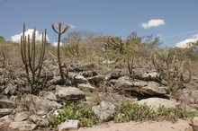 Caatinga Is A Type Of Desert Vegetation, And An Ecoregion Characterized By This Vegetation In Interior Northeastern Brazil. Cereus Jamacaru, Known As Mandacaru  Is A Cactus Common In This Vegetation.