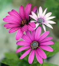 Close-up Of Pink Osteospermums...