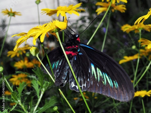 Photo Rajah Brooke's Birdwing butterfly on a yellow flower 1