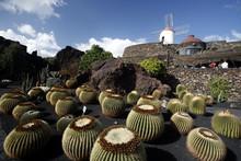 Golden Barrel Cactuses Growing...
