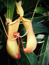 Close-up Of Pitcher Plant Growing Outdoors
