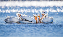 Large White Pelicans Gather To...