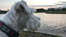 Profile Head Of Adorable Silver (white) Schnauzer Dog By Pond Water, Close Up, Slomo