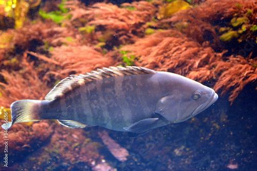 悠然と泳ぐ大きなマハタの姿(日本の新江ノ島水族館) Fototapeta