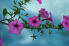 Pink Morning Glory Flowers Ove...