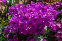 Close Up Of Purple Bougainvill...