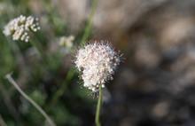 Mojave Buckwheat (Eriogonum Fasciculatum Var. Polifolium) Is A Wild Desert Shrub With Heads Of Small White Flowers.