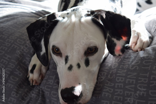 Canvas Print Close-up Portrait Of Dalmatian Dog Relaxing On Bed At Home