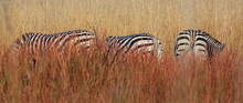 Panoramic Shot Of Zebras Grazi...