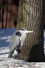 Great Blue Heron Perching On Snowy Field By Tree