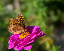 Great Spangled Fritillary Butterfly On Zinnia Flower