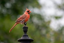 Male Cardinal Sitting Atop Lamp Post