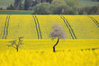 Curves and lines of summer rural landscape with rape field and white flowering cherry tree. Rural landscape. Spring landscape. Yellow rape field in countryside. Beautiful Czech highland countryside