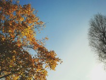 Upward View Of Tree Tops And Clear Sky