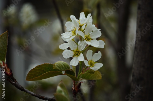 Photo Close up on the flowering branch of amelanchier laevis also known as smooth shad