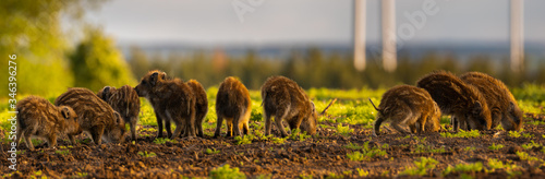 Papel de parede herd of small wild boars piglets feeding on the spring field - closeup panorama