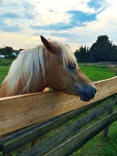 Horse Looking Over Plank Fence