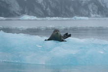 Phoca Vitulina; Harbor Seal Laying On An Iceberg On The Surface Of Jokulsarlon Lagoon In Iceland